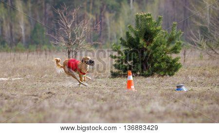 Coursing, Passion And Speed. Yuzhnorusskaya Borzaya Dogs Running