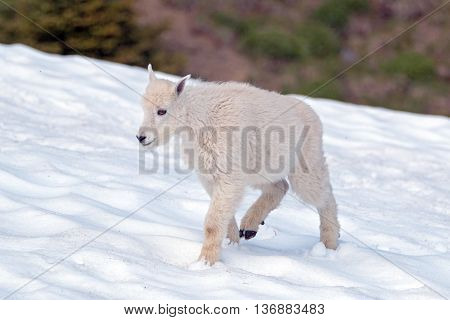 Baby Kid Mountain Goat trudging through snowfield in National Park Washington State USA