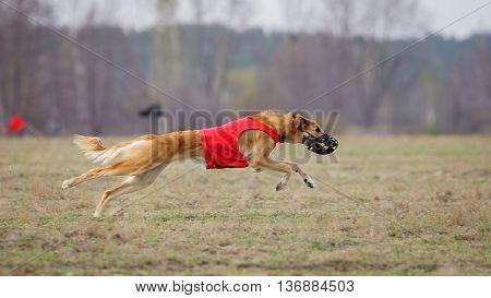 Coursing. Yuzhnorusskaya Borzaya Dogs Running