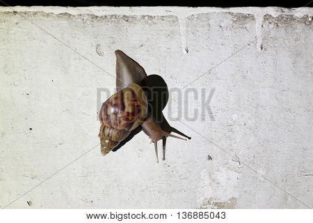 Burgundy Snail (helix, Roman Snail, Edible Snail, Escargot) Escape The Rain In Night Time