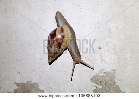 Burgundy Snail (helix, Roman Snail, Edible Snail, Escargot) Escape The Rain In Night Time