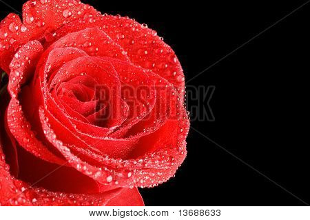 Beautiful Red Rose On A Black Background