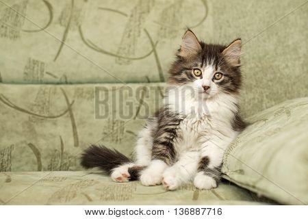 A cute little kitten sitting on a chair. Pet.