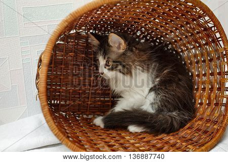 Cute little kitten sitting in a basket. Pet.