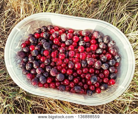 Currants and blueberries in small container on the grass. Fruit picking. Healthy food theme. Seasonal natural scene. Outdoor activity.