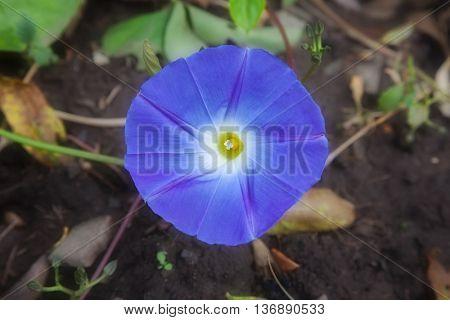 beautiful flower morning-glory. nature
