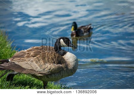Canada goose standing on one leg in green grass next to a pond with a mallard swimming in the back ground