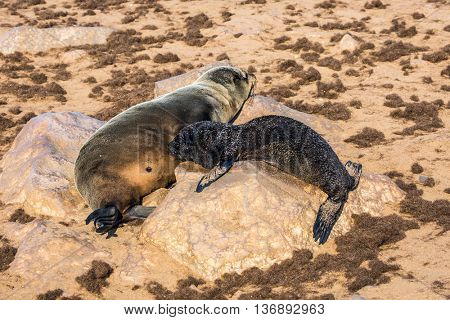 Fur seal pup sucking mother's milk. Reserve fur seals in the Cape Cross, Namibia
