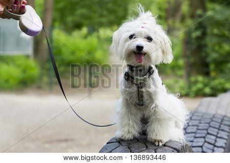 the dog breed maltese bichon is sitting