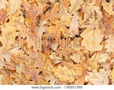 Autumn dry fallen oak leaves as background