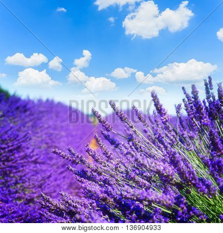 Lavender field with bright summer blue sky close up, France