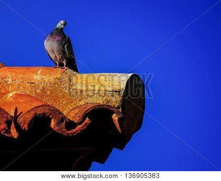 Pigeon on a ledge in Zaragoza in Spain