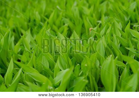 Background Of May Lily Green Leaves