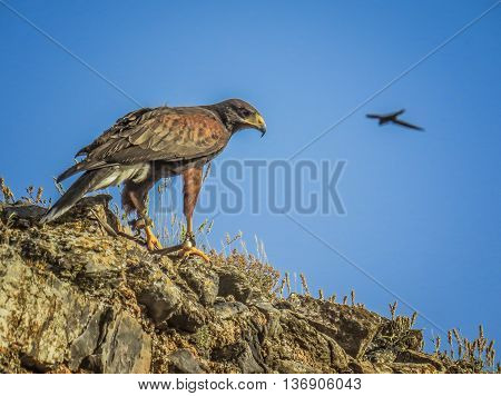 Eagle, Hawk, Falcon, Bird of Prey in Trasmoz Spain