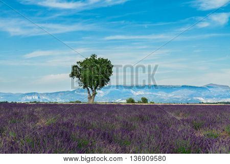 Lavender fresh field and tree with summer blue sky and clouds, France, valensole Provence