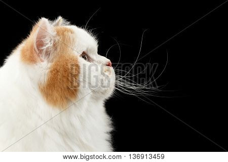 Closeup Scottish Highland Straight Cat, White with Red Color of Fur, Isolated Black Background, Profile view