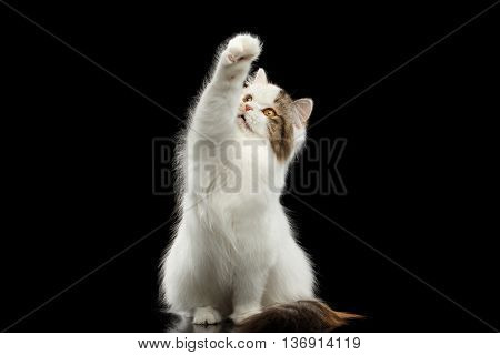 Catching Scottish Highland Straight Cat, White with Red Color of Fur, Sitting and Raising up paw, Isolated Black Background, Front view, Mad Looks