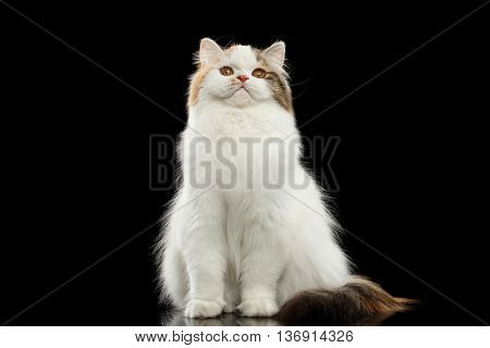 Funny Portrait of Angry Scottish Highland Straight Cat, White with Red Color of Fur, Sitting and Curious Looks, Isolated Black Background, Front view, Grumpy Face