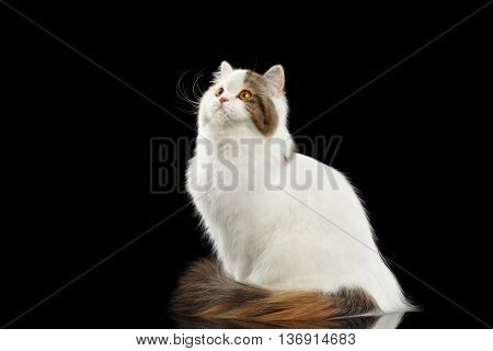 Portrait of Scottish Highland Straight Cat, White with Red Color of Fur, Sitting and Curious Looking up, Isolated Black Background, Side view
