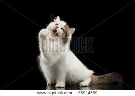 Playful Scottish Highland Straight Cat, White with Red Color of Fur, Catching and Raising up paw, Hunting with Opened Mouth, Isolated Black Background, Front view, Mad Looks
