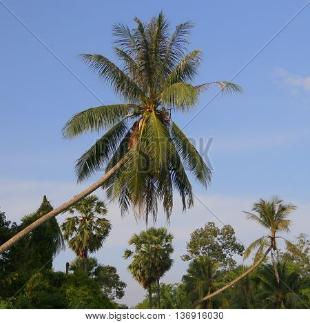 leaning coconut trees, palm trees in background, near Songkhla, Thailand