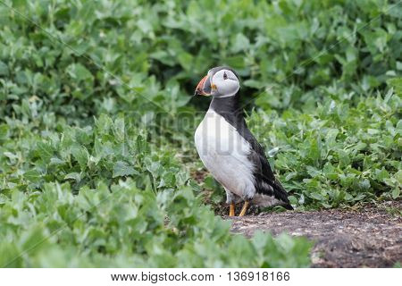 Puffin on the Farne Islands in Northumberland, UK