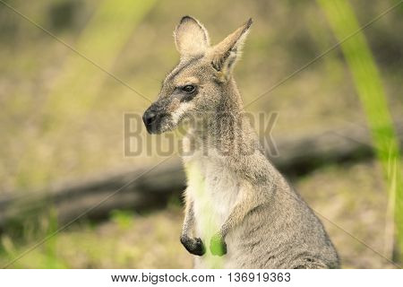 Australian wallaby outdoors on the grass during the day.