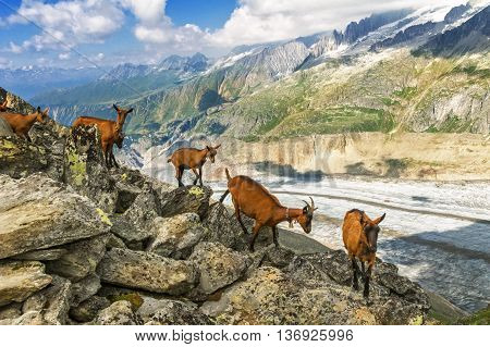Beautiful idyllic alpine landscape with goats, Alps mountains  and countryside in summer, Switzerland