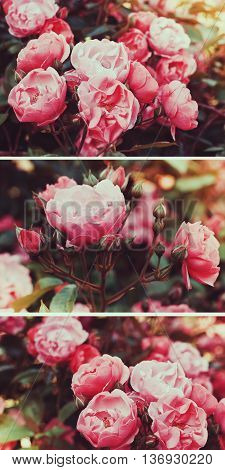 Bushes pink tea rose in a vintage film effect with toning. Collage triptych. Rose Garden.
