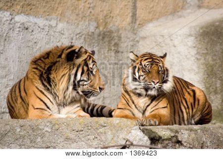 Resting Tigers