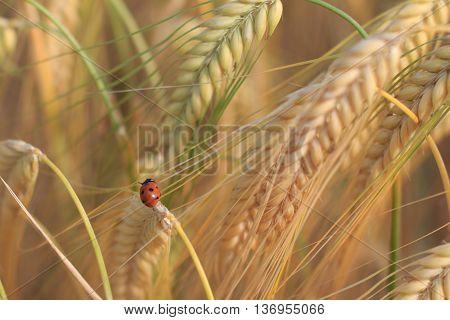 Ladybird, Ladybug, Lady Beetle In Wheat Field