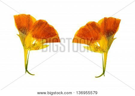 Pressed and dried delicate yellow colored flowers nasturtium (tropaeolum). Isolated on white background. For use in scrapbooking floristry (oshibana) or herbarium.