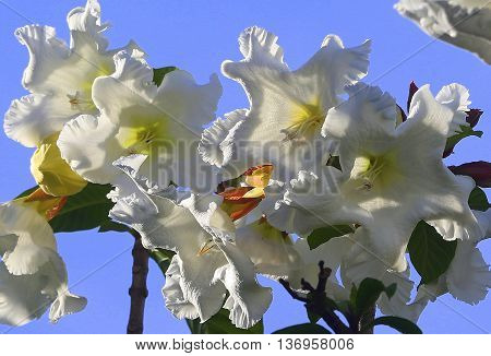 white and yellow Herald's Trumpet flowers lit with sunshine, Songkhla, Thailand