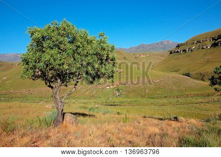Scenic Drakensberg mountain landscape with tree, Giants Castle nature reserve, South Africa