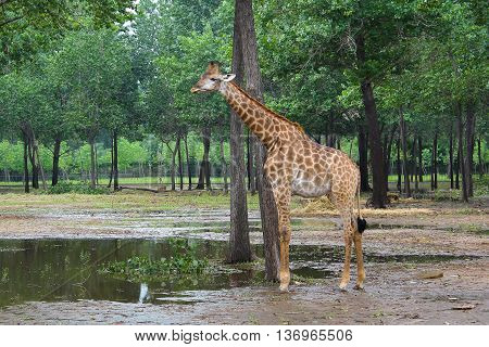 giraffe standing in the woods at the zoo