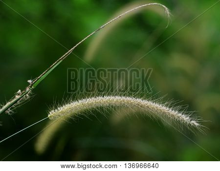 native swamp grass seed tassels near Songkhla, Thailand