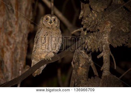 Young Eurasian Scops Owl (Otus scops) sitting on the perch