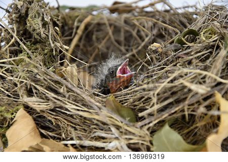 Bird nest with young birds. Birds nest.