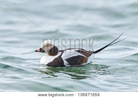 Long-tailed duck (Clangula hyemalis) resting in the waves of the sea