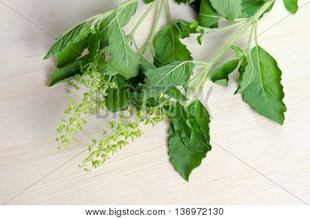 Basil leaf herb plant (Also known as Ocimum basilicum great basil Saint-Joseph's-wort Basil Lamiaceae thyrsiflora lemon basil citriodorum holy basil Ocimum tenuiflorum)