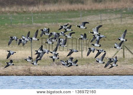 Barnacle geese (Branta leucopsis) in flight in their natural habitat