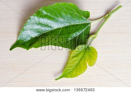 Mulberry (Other names are MORUS ALBA Moraceae mulberry white mulberry Chinese mulberry Morus cathayana) leaf isolated on wood background