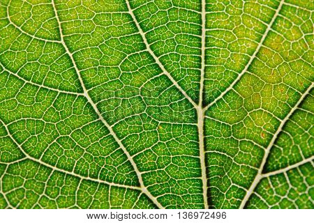 Leaf abstract background texture with leaf veins