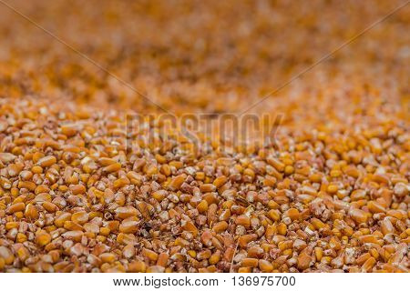 Dried Corn kernels after harvesting corn fields