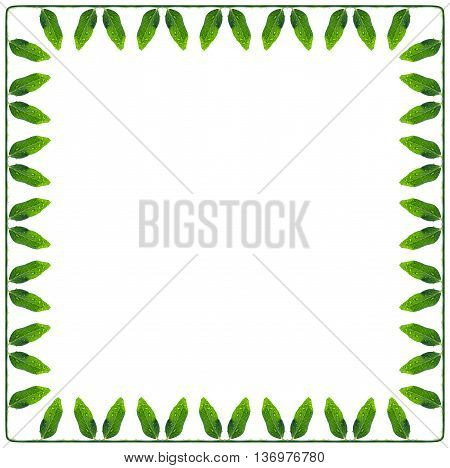 frame of a green and succulent leaves peas on the perimeter connected a stem isolated on white
