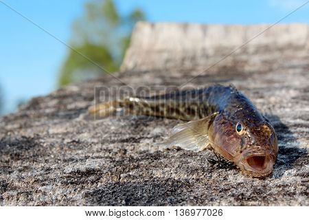 gudgeon caught and small ant near it