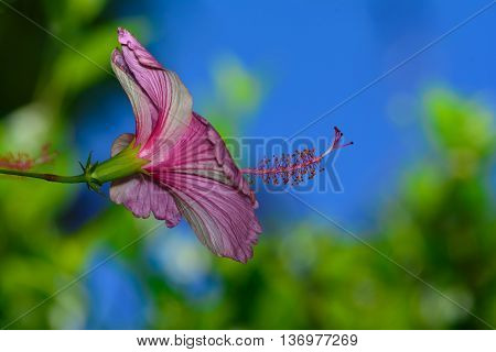 Pink Hibiscus (Hibiscus Rosa Sinensis) side profile with Stamen. Set against bokeh background of blue sky and green foliage