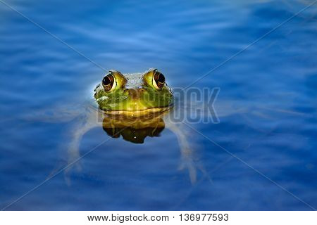 American bullfrog (Lithobates catesbeianus) in pond with head and eyes protruding out of water