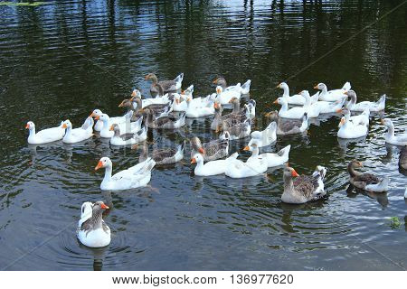 hatch of domestic white geese swimming on the water