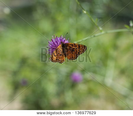 Butterfly Queen of Spain fritillary (Issoria lathonia) sitting on a flower